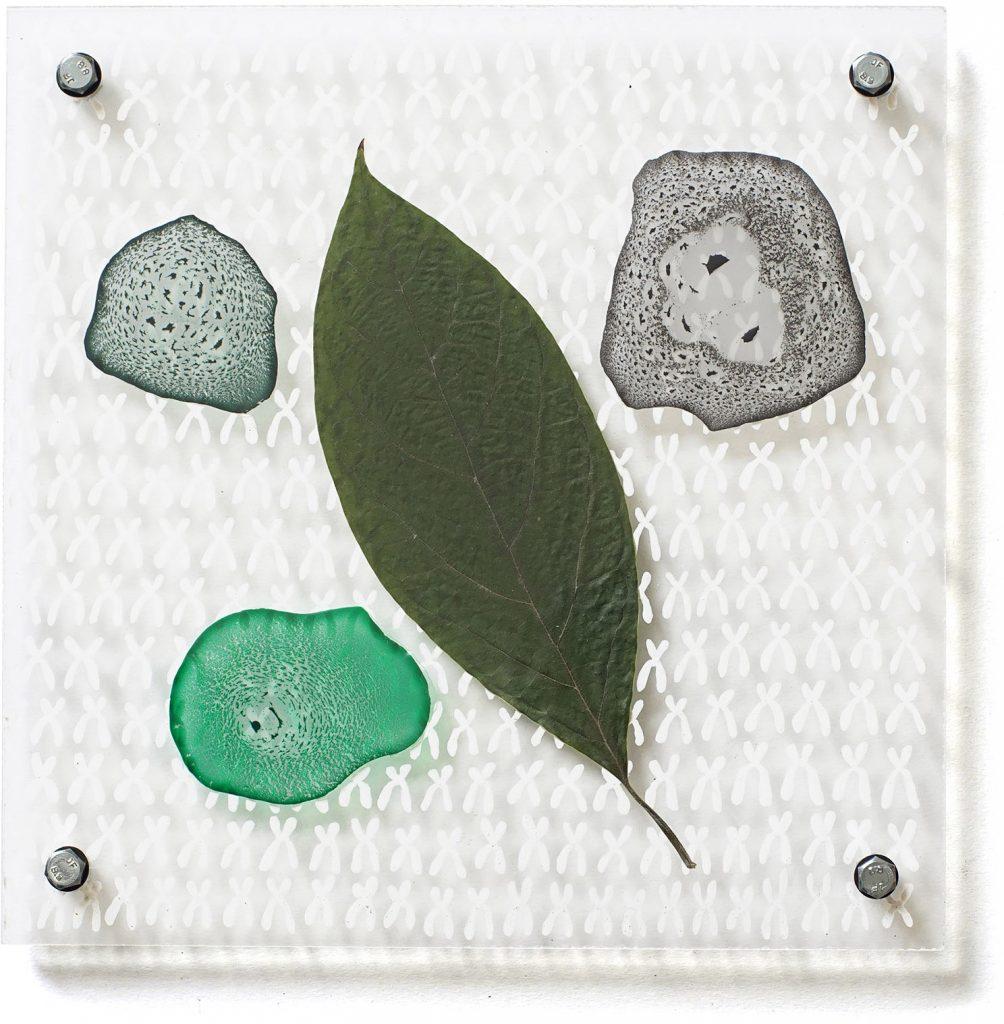 Neue Cloroplasten, 2018, synthetisches Bindemittel und Avocadoblatt zwischen Acrylglas, 20cm x 20cm